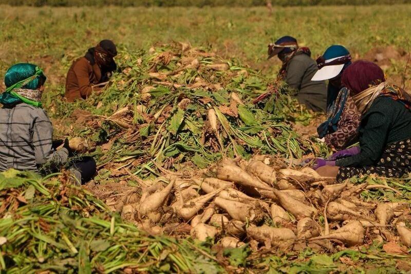 گلستان دومین تولید کننده چغندر قند پاییزه کشور است