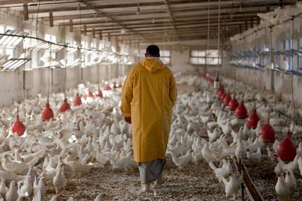 کاهش جوجهریزی در کشور به افزایش قیمت مرغ منجر شده است