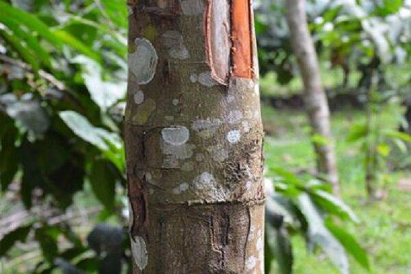 کاشت آزمایشی درخت دارچین در منطقه سیستان انجام می شود