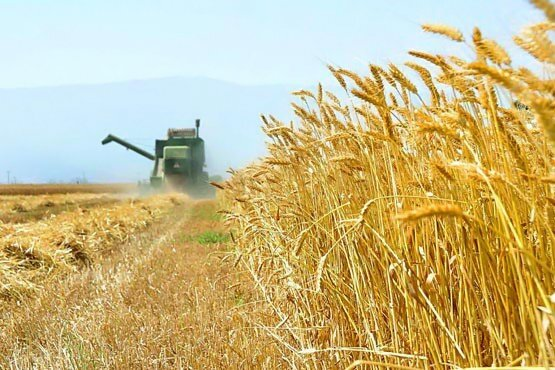 پیش بینی برداشت ۸۵۰ هزار تُن گندم در استان کرمانشاه