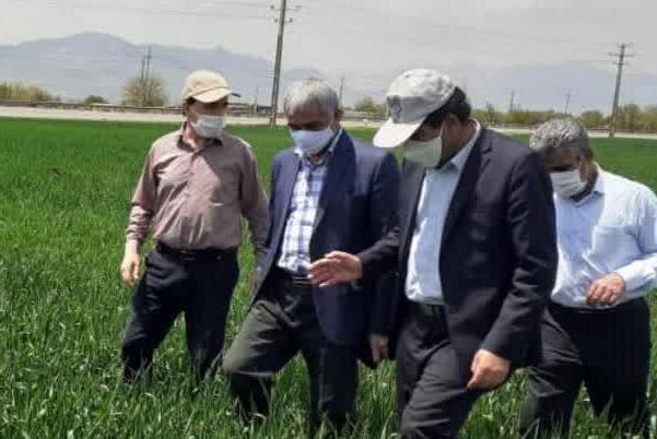 وضعیت تولید گندم کشور امسال مطلوب است