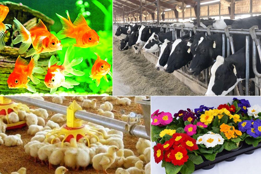 خسارت کرونا به تولیدکنندگان محصولات کشاورزی قم/ جوجه کُشی نداریم