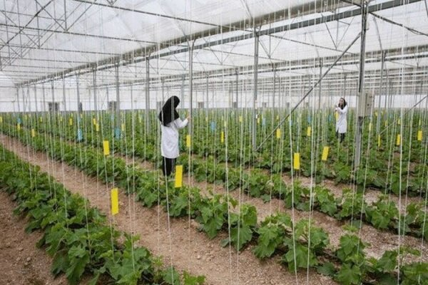 ۲۵۰ هکتار گلخانه در استان بوشهر احداث میشود