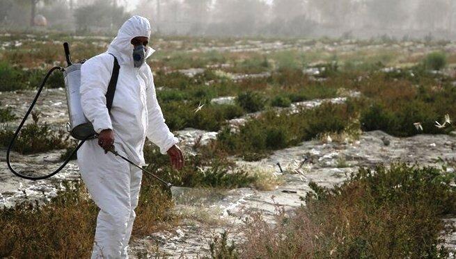 حمله ملخ صحرایی با کمک رسانی جهاد کشاورزی آبادان به خرمشهر ناکام ماند