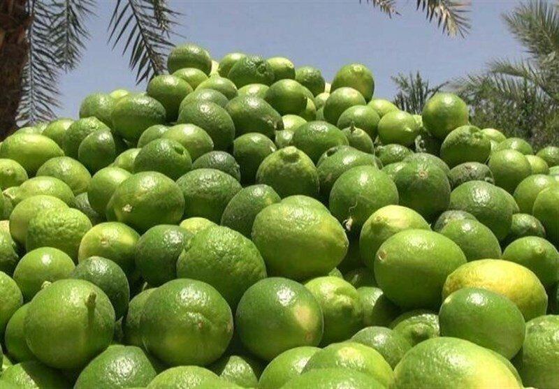 برداشت لیمو ترش در راسک آغاز شد/ پیشبینی برداشت ۳۸۰ تن محصول