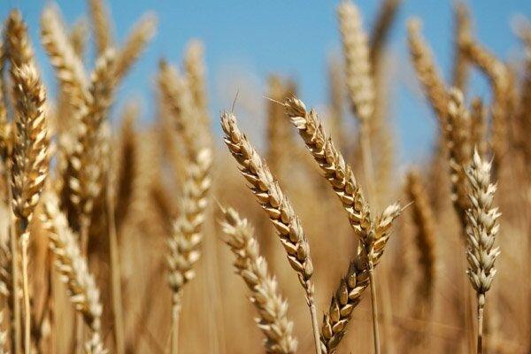 گندمزارهای مازندران سبزتر از همیشه