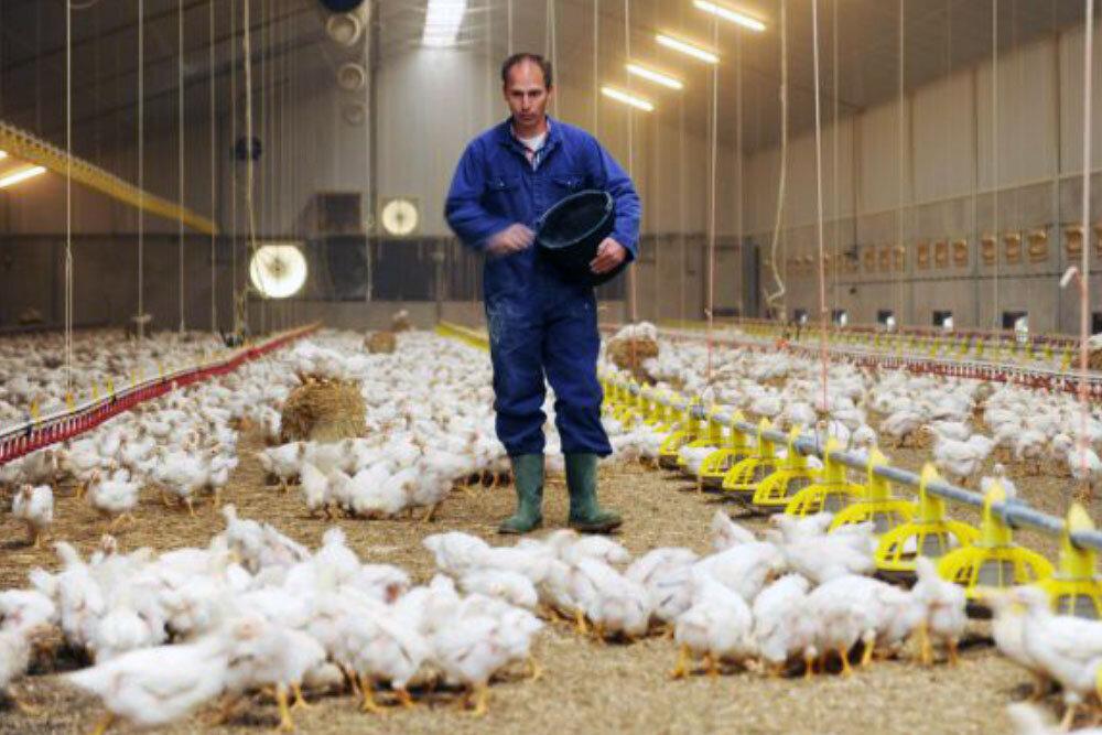 مرغداران به شدت درگیر تامین نهاده برای تولید هستند