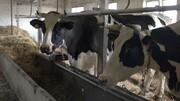 صنعت دامداری خراسان جنوبی در سراشیبی نابودی؛ گاوها را میفروشند که علوفه بخرند!