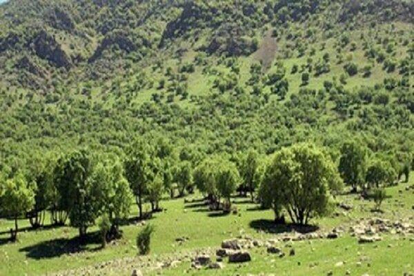 آلودگی ۲۵۰ هکتار از جنگلهای بلوط و لیدر به پروانه دم طلایی در طارم
