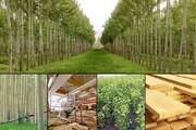 اجرای طرح زراعت چوب در چهار هزار و ۵۰۰ هکتار از اراضی گیلان