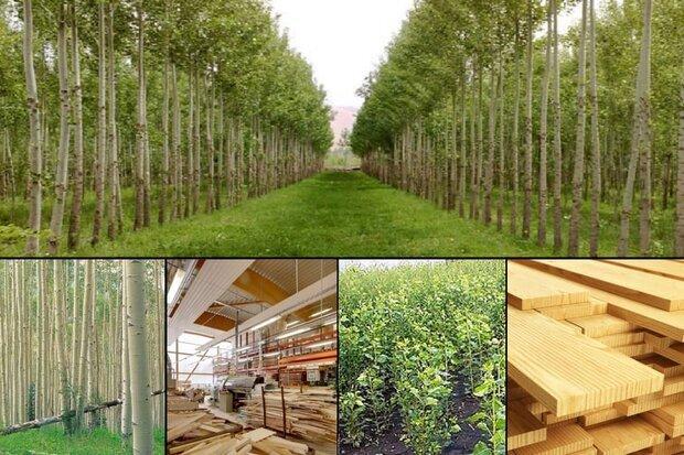 زراعت چوب ظرفیتی برای توسعه چهارمحال و بختیاری؛ یک هزار و ۶۰۰ هکتار نهال کاری شد