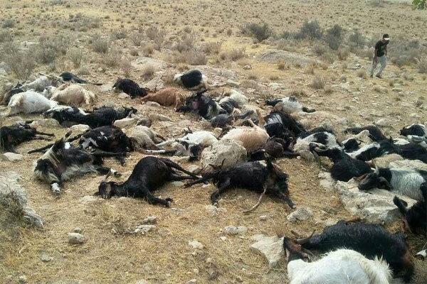 سیلاب ۶۰۰ راس گوسفند را در نوشهر تلف کرد