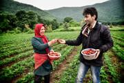 گلستان سومین تولید کننده توت فرنگی در کشور است