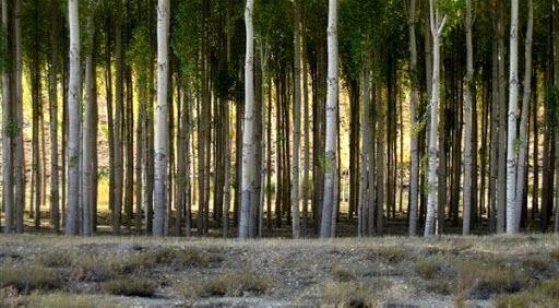 گسترش زراعت چوب در بوشهر؛ دانش بنیانی ها پای کار می آیند