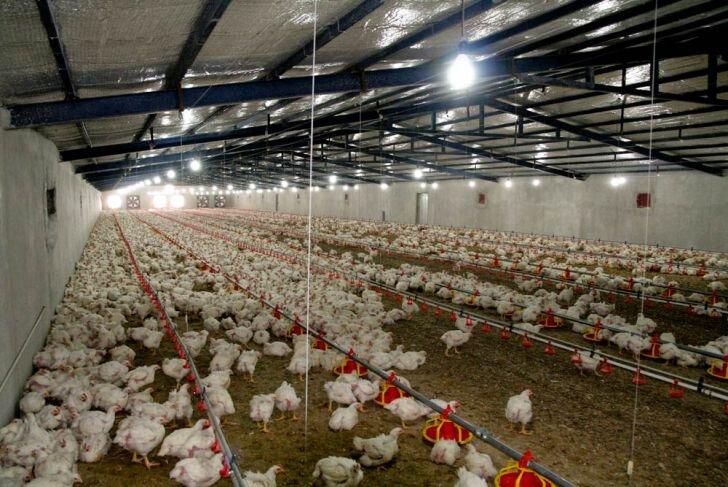 اختلاف قیمت گوشت مرغ در استانهای مختلف فساد زا است/ مجوز صادرات انگیزه ای برای تولید