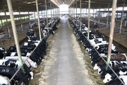 فاز دوم پروژه گاوداری ۶ هزار رأسی دلفان به بهرهبرداری میرسد/ ایجاد ۶۶۰ شغل