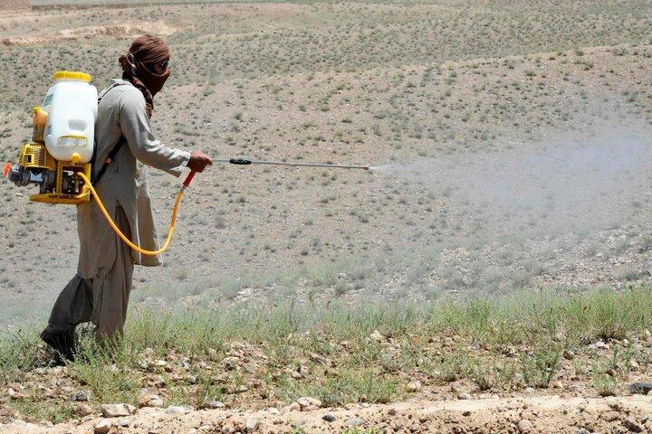 مبارزه با ملخ صحرایی در ۱۱۰ هزار هکتار از مراتع سیستان و بلوچستان