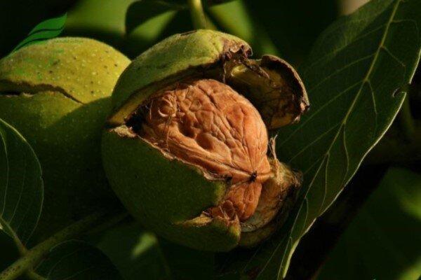 سرشاخه کاری درختان دریچههای صادرات را به روی گردوی همدان باز می کند