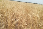 ۱۳۱ هزار تن گندم از کشاورزان خراسان شمالی خریداری شد