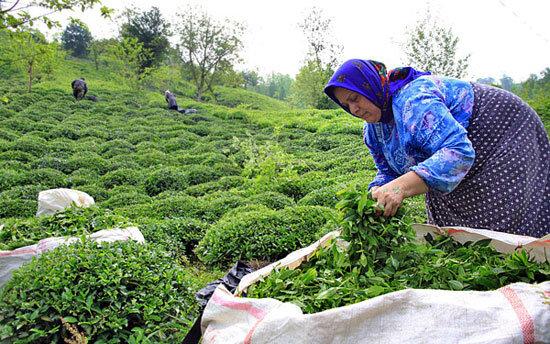 روزانه ۳۹۵۰ تن چای سبز بهاره تحویل کارخانهها شده است