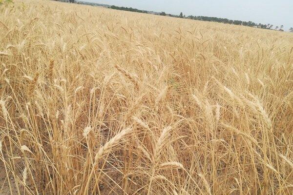 ۲۳۰ هزار هکتار اراضی کشاورزی قزوین زیر کشت دیم رفت