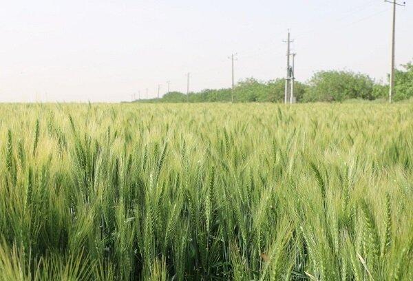 پیش بینی خرید ۳۳۰ هزار تُن گندم از کشاورزان مرکزی