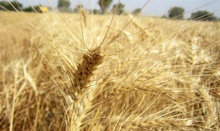 ۹۰۰۰ تن گندم از کشاورزان مناطق گرمسیری کهگیلویه و بویراحمد خریداری شد