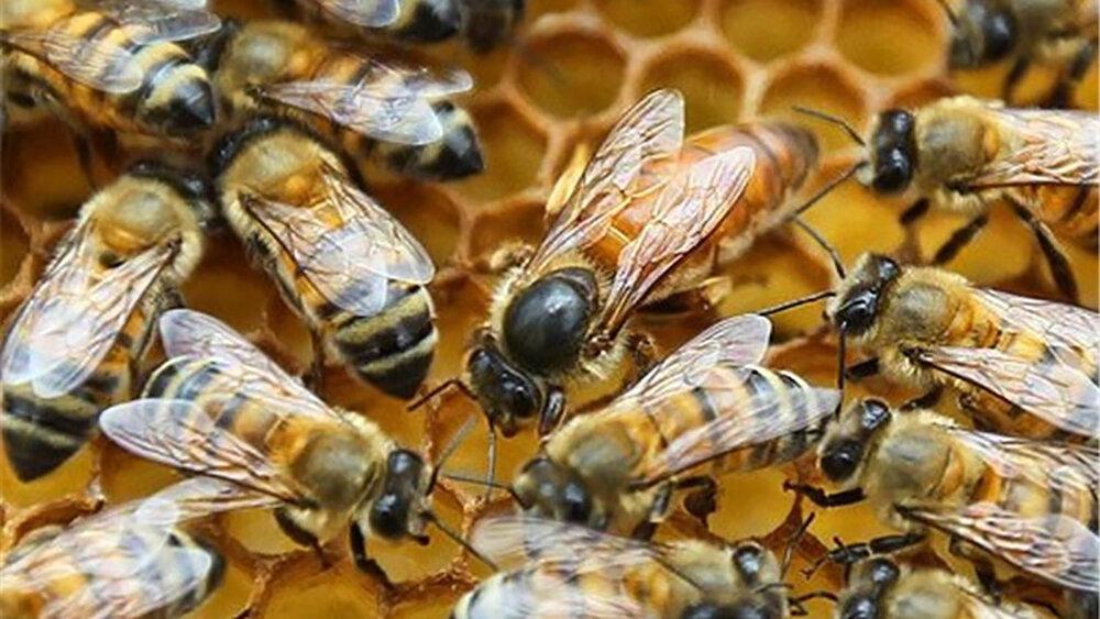 قاچاق ملکههای خارجی ترکیب ژنتیکی زنبور عسل ایرانی را  تهدید میکند