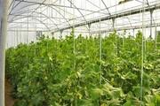 ۴۸ هزار هکتار گلخانه در کشور احداث می شود