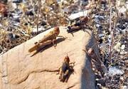 دیده بانی آفت ملخ صحرایی در ۵ میلیون هکتار از اراضی سیستان وبلوچستان