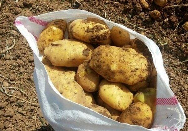 ۴۶۶ کامیون سیب زمینی از مرزهای کردستان صادر شد