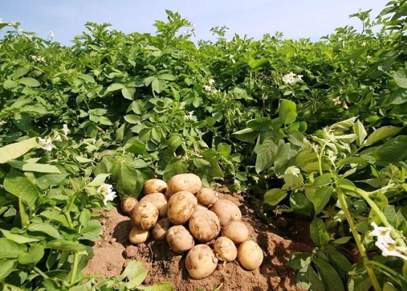 سود صادرات سیبزمینی به جیب تجار جمهوری آذربایجان میرود