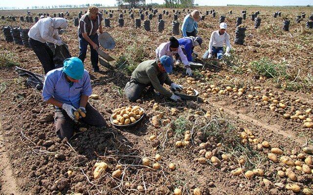 گلایه سیب زمینی کاران از نبود بازار برای محصول| ۱۰۰هزارتن سیب زمینی خوراک دام و طیور شد