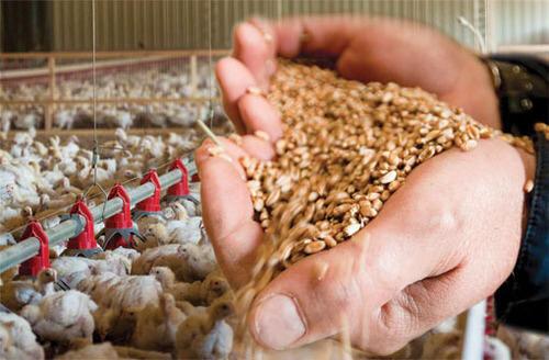 تولید نخستین محصول تجاریسازی شده در زمینه خوراک دام و طیور/ گامی بلند برای خودکفایی در قم
