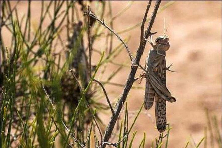 مقابله با ملخهای صحرایی در ۱۸۰۰ هکتار از اراضی استان بوشهر انجام شد