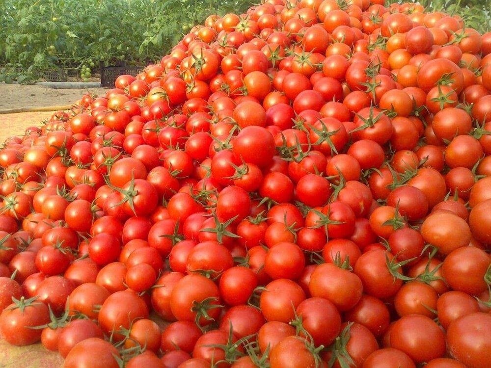 پرداخت یارانه گوجه فرنگی به کشاورزان استان همدان