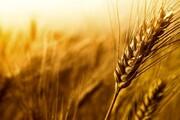 نرخ فعلی خرید تضمینی گندم ظلم به کشاورز است