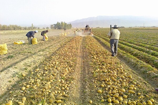 سیبزمینی زمینخورده ارزشگذاری صادراتی/ ارزانی محصول دسترنج کشاورزان را به باد داد