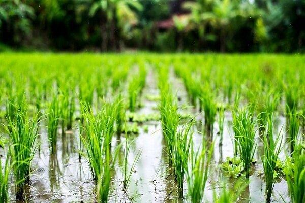 کشت و برداشت همزمان برنج در نیکشهر/ امسال ۸۵۰ هکتار برنج کشت شد