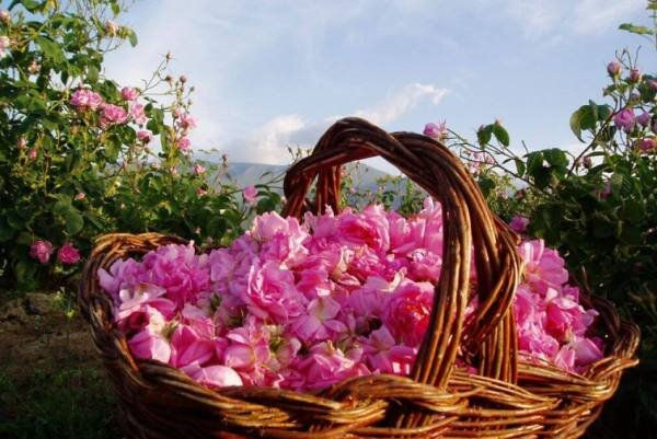 برنامه ریزی برای کشت گل محمدی در ۲.۵ هکتار از مزارع فامنین