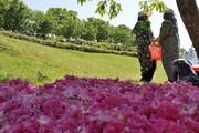 رونق برداشت گل محمدی در آذربایجان شرقی