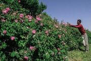 تشویق به پرورش گل محمدی بدون بازار فروش خیانت به کشاورزان است