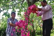 سهم اندک صادرات در بخش کشاورزی| لزوم تجاریسازی گل محمدی در آذربایجان غربی