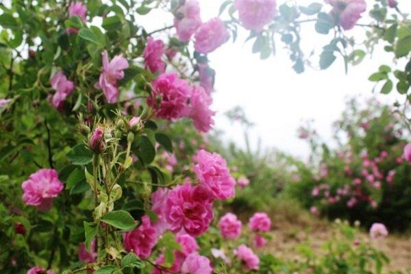 گلابگیری سنتی و نیمه صنعتی در مازندران