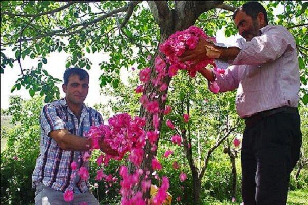 پیشبینی برداشت ۳۲۴ تن گل محمدی در خراسان شمالی