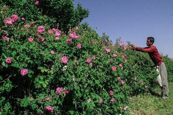 ظرفیتی مغفول مانده در دل کویر؛ هزار و یک مشکل پای گل محمدی