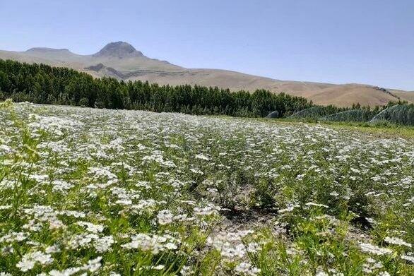 سالانه ۶ هزار تن گشنیز در کرمانشاه تولید میشود