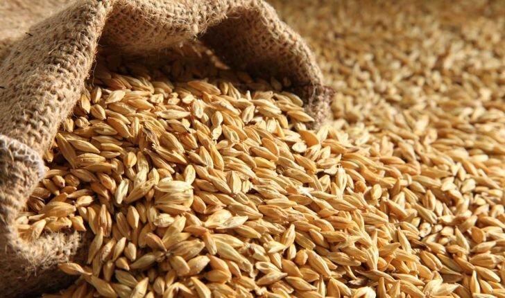 خرید جو از شهرهای غربی استان سمنان آغاز شد/ پیشبینی تولید ۷۰ هزار تن جو