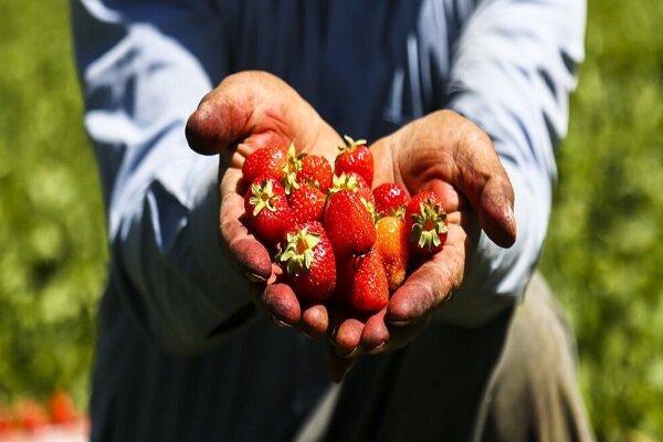 توسعه کشت کم آببر با پرورش توت فرنگی در نهاوند