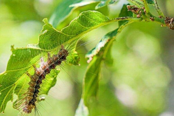 هجوم زود رس آفت پروانه دم قهوه ای به جنگل های هوراند